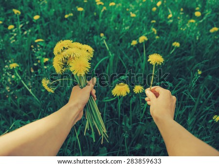 Stock Photo Woman picking flowers yellow dandelions on meadow in summer. Point of view shot. Image with instagram filter