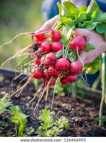 woman picking fresh radish from her garden