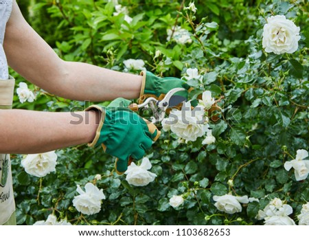 Woman picking fresh white roses on a bush in her garden during spring in a close up view of her hands and the pruning shears #1103682653