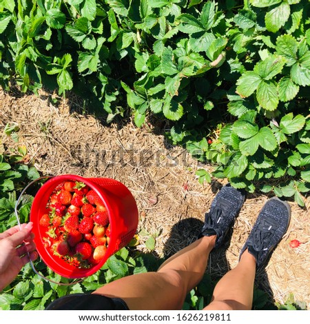 Woman Picking Strawberries in Farm Field Woman Holding Basket of Fresh Picked Berries in Summer