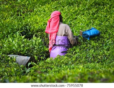 Woman picking tea leaves in a tea plantation - Munnar, Kerala, India