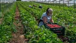 Woman picks strawberries in the greenhouse with harvest. Berry season