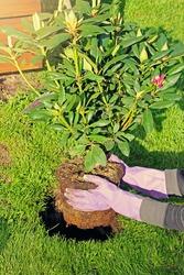 woman planting rhododendron bush in garden