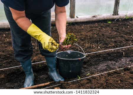 Woman planting seedlings. Planting seedlings of young plants. Hands of a woman in yellow gloves hold cuttings that will be planted in the ground. Grower in rubber boots #1411832324