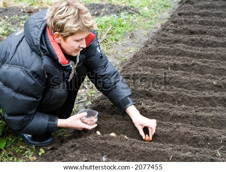 woman plants bulbs of tulips in the ground