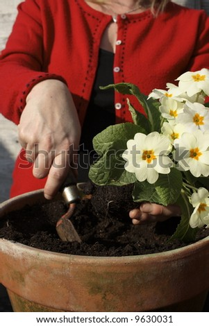 Woman potting up a primrose in the spring.