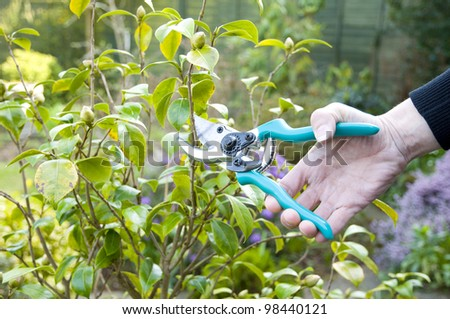 woman pruning with secateurs in garden - stock photo