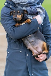 Woman's arms hold a pregnant Jack russell terier. The dog's big belly can be seen clearly. Outside in the winter. Selective focus on dog.