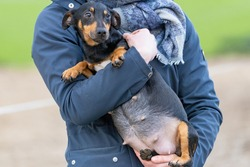Woman's arms hold a pregnant Jack russell terier. The dog's big belly can be seen clearly. Outside in the winter. Selective focus on dog