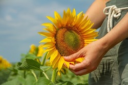 Woman's Hand and Sunflower Flower, Unity with Nature. Farmer Holds Sunflower, Farmer in Sunflower Field. Sunflower Cultivation, Harvest Time, Farming Concept.