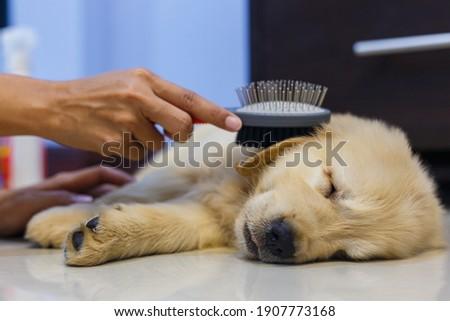 Woman's hand holding a brush for brushing her golden retriever puppy hair between dog sleeping. Stock fotó ©
