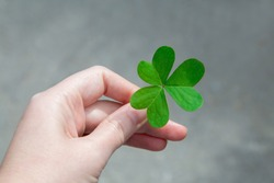 Woman's hand holds shamrock. Concept of lucky, growth, freedom and harmony. Lucky green three leaf clover for St. Patrick's Day.