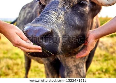 Woman's hand is feeding a water buffalo (Bubalus bubalis). Water buffalo muzzle close up. #1322471612