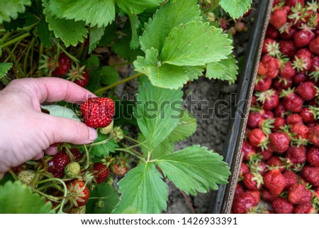 Woman's hand picking June bearing strawberries growing in a farmer's field, box with picked berries, summer goodness