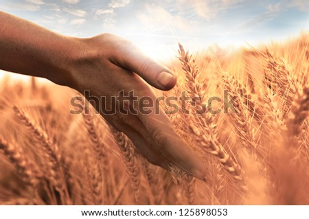 Woman's hand touch wheat ears at sunset