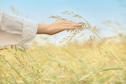 Woman's hand touches ears of oat growing at sunrise. Golden yellow spikelets of ripe oat in field on blue sky background, selective focus. High quality photo