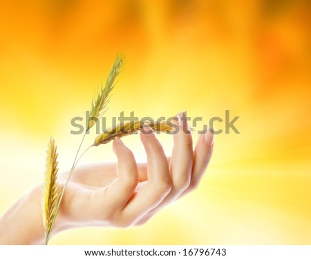 Woman's hand with wheat herb