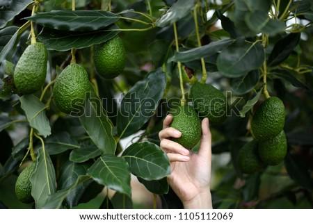 Woman's hands harvesting fresh ripe organic Hass Avocado  Foto stock ©