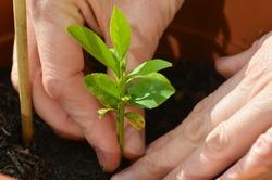 woman's hands planting a small lemon tree