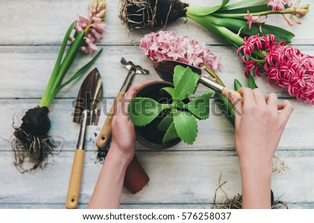 Woman's hands planting spring flowers  #576258037