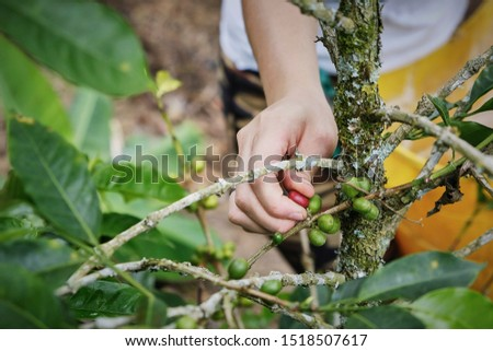 Woman's hands with a coffee bean. Colombia