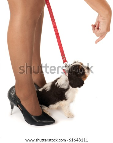 Woman's legs and a 6 weeks old cavalier king charles puppy