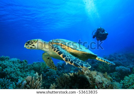 Woman Scuba Diver takes a photograph of a Hawksbill Turtle