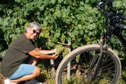 Woman senior with gray hair touching bunches of grapes looking at camera. E bike close to her, for healthy lifestyle. One people caucasian.Green vineyard in background.