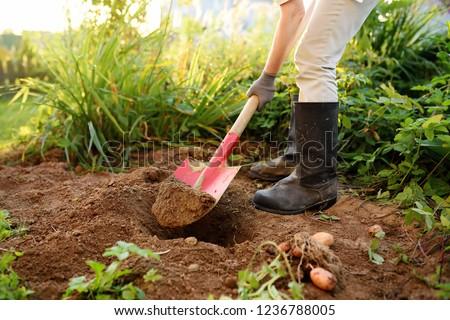 Woman shod in boots digs potatoes in her garden. Growing organic vegetables herself.