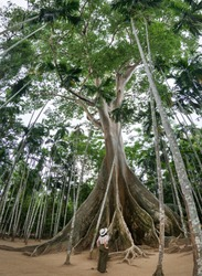 woman standing looking at giant big tree in Uthai Thani province, Thailand