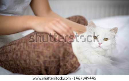 Woman strokes cat, Persian cat, ragdoll cat with fur white long hair with long hair