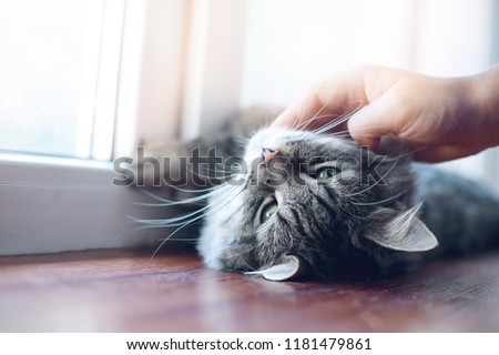 Woman stroking her lovely fluffy cat. Gray tabby cute kitten with beautiful eyes relaxing on a window sill. Pets, friendship, trust, love, lifestyle concept. Friend of human. Animal lover.