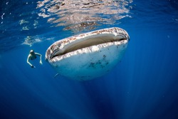 Woman swimming side by side with a huge whale shark in the clear blue ocean.
