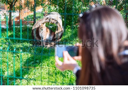 woman taking picture on phone of leopard in zoo in sunny day. hot day
