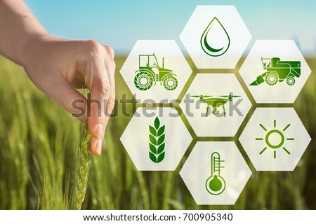 Woman touching wheat spikelet in field, closeup. Concept of smart agriculture and modern technology