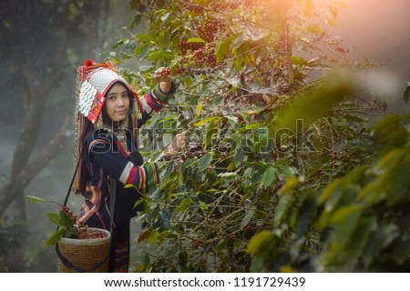 woman unidentified coffee farmer is harvesting coffee berries , Hill Tribe Coffee Plantation,Akha Woman Picking Red Coffee On Bouquet On Tree,Thailand