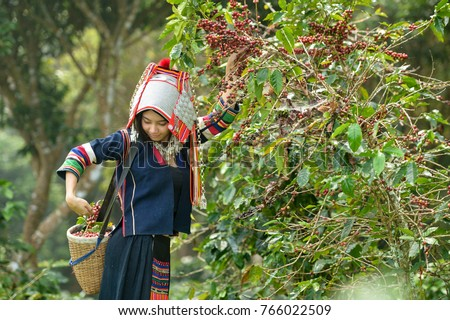 Woman unidentified coffee farmer is harvesting coffee berries in the coffee farm, Woman wearing traditional thai lanna people ,vintage style,Thailand