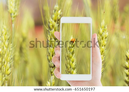 woman use mobile phone to take the picture of a little orange ladybug on the organic wheat