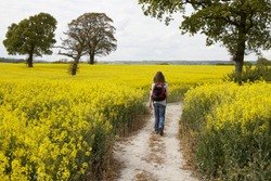 Woman walking along a path through a large yellow rapeseed crop in Hampshire