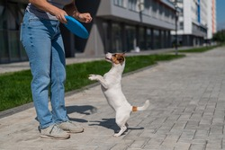 Woman walks with Jack Russell Terrier outdoors. Funny playful little dog catches and brings toy to the owner.