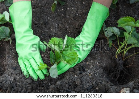 Woman (wearing gloves closeup) planting strawberry seedlings