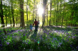 Woman with a boy and girl walking through woods. Colour image of bluebells growing in woodlands in Ireland. Sunlight coming through trees and lighting up bluebells while they grow in the forest.