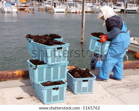 Woman working at a pier  during seaweed harvest period at the Matsushima bay a very famous touristic area in Japan