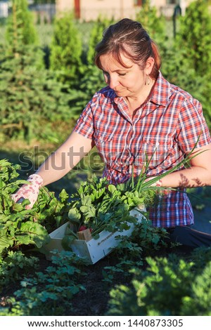Woman working in a home garden in the backyard, picking the vegetables and put to wooden box. Candid people, real moments, authentic situations #1440873305