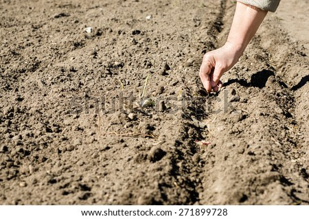 Woman working in the garden, sowing seeds into the soil on the plot #271899728