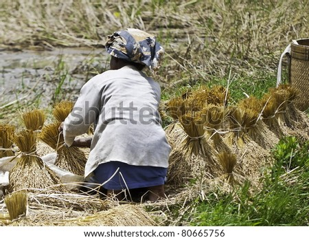 Woman working on collecting rice in third world country side, Indonesia