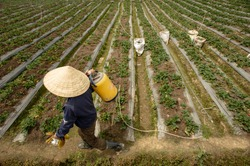Woman works on strawberry field wearing traditional Asian hat