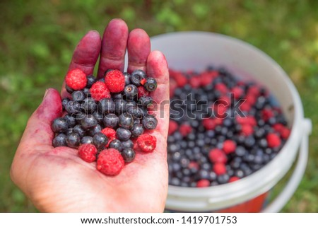 womans hand filled with self picked blueberries and raspberries, blurry bucket and garden background
