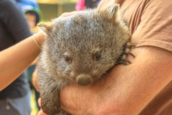 Wombat joey, Vombatus ursinus, in the arms of a ranger who takes care of him. Closeup of masupial Australian herbivore.