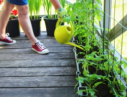 Women gardener watering plants. Container vegetables gardening. Vegetable garden on a terrace. Flower, tomatoes growing in container .